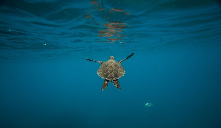 Un estudio muestra por primera vez la acumulación de aditivos del plástico en tortugas del Mediterráneo