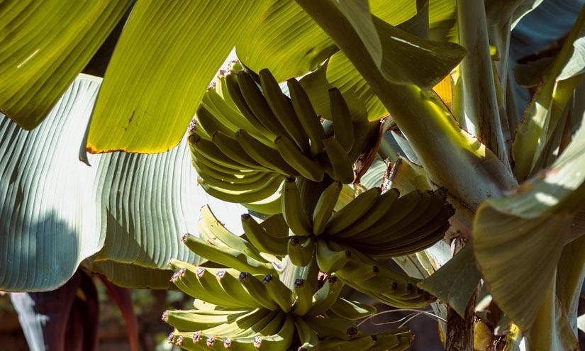 Incatema completa la Asistencia técnica a la UE del programa Medidas de Acompañamiento al sector de la Banana