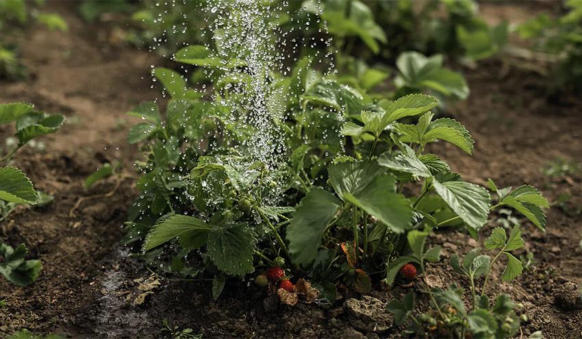 Riego con bacterias para usar menos fertilizantes