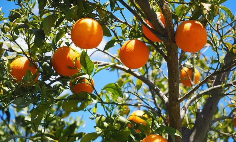 Aprovechamiento de la naranja amarga tras su recolección