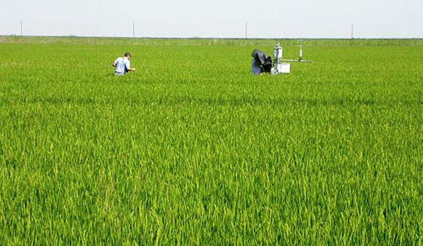 ¿Es posible un uso más sostenible del agua en el cultivo de arroz?