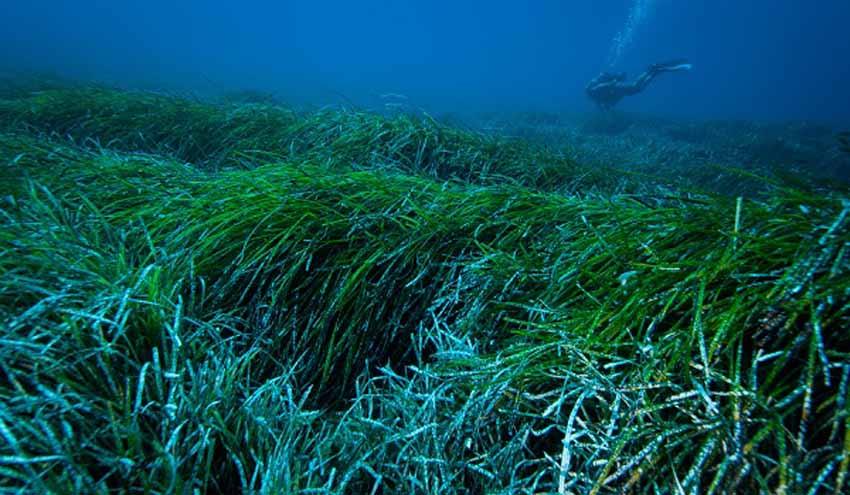 La UB demuestra que las praderas de posidonia capturan y extraen plásticos del océano