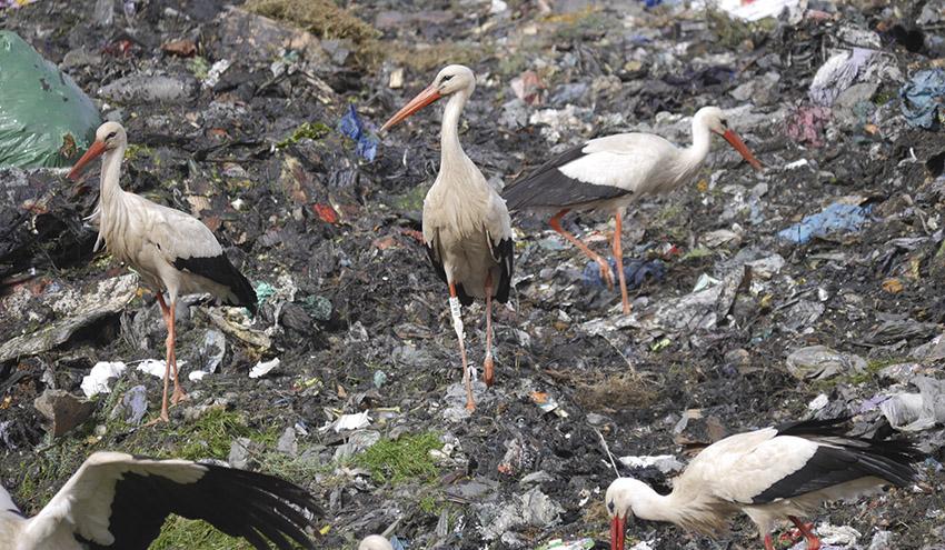 Los vertederos son una fuente de alimento para muchas aves: ¿qué pasará si los cerramos?