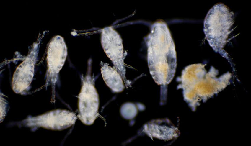 El cambio climático antropogénico ya afecta a las comunidades de plancton