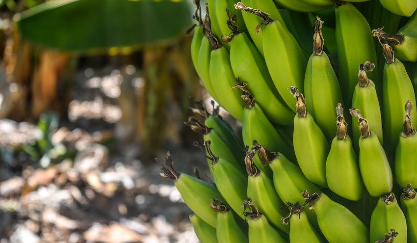Incatema diseña un proceso para reciclaje de plásticos de la producción de banana