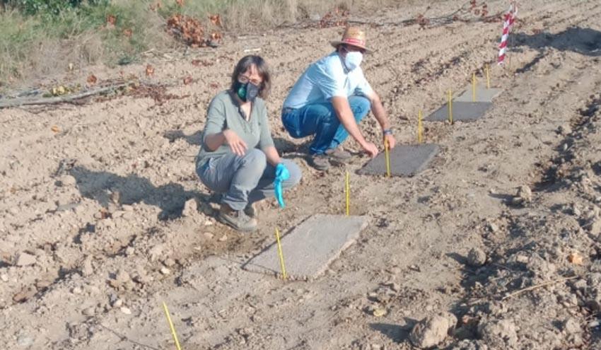El CITA participa en un proyecto de bioeconomía circular alternativo al acolchado plástico o herbicidas