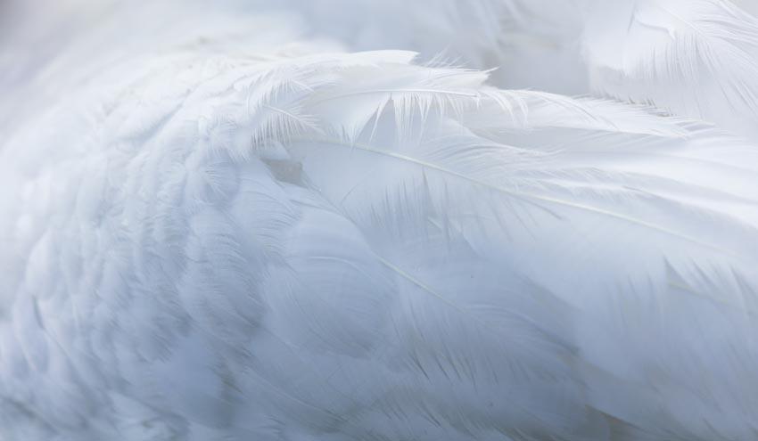 Plumas de aves, un nuevo elemento en la circularidad de la agricultura