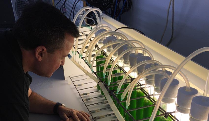 Usan como fertilizante una microalga cultivada en aguas residuales de la industria cervecera