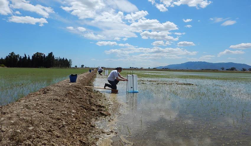 El riego intermitente podría reducir drásticamente las emisiones de metano en los arrozales